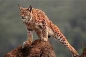 Iberian Lynx.