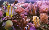 The coral reef dying