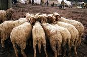 Berber sheeps