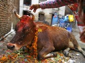 Cows are sacred in Hinduism