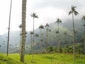 Wax Palm Tree