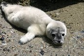 sick baby seal from pollution