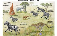 This picture shows the way energy travels or the food web of the african savanna