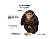 This is a Diagram of a Chimps Body
