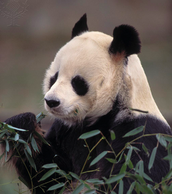 Did you know that I eat 90% of bamboo