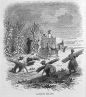 Harvesting Sugar Cane, Louisiana, 1853     Source:  Harper's New Monthly Magazine(1853), vol. 9, p. 760. (Copy in Special Collections Department, University of Virginia Library)