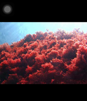 Red algea