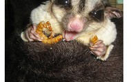 Sugar Glider Eating