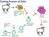 The cloning process of Dolly