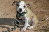 Newborn puppy forced to fight in second largest dogfighting ring ever