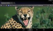 cheetahs teeth