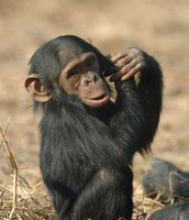 chimpanzees live in west and central Africa