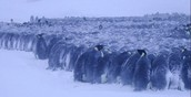 Emperor Penguins huddling in a blizzard to keep warm