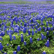 Bluebonnet fields are popular with tourists