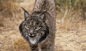 Names For the Spanish lynx