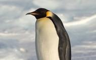 Emper penguin