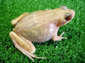 See Through Frog