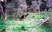 Kangaroo's Habitat