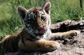 The cub siberian tiger