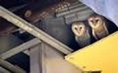 Barn owls nests