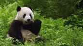 The panda eats