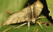 Gypsy Moth antennas