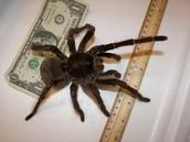 Edderkoppen