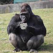 gorila-gorilla