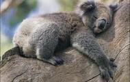 Where koalas live?