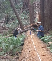 Allison and her partner take cores from the fallen Solstice Tree