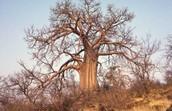 Manketti Tree