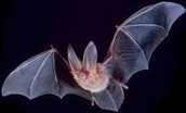 BATS IN OUR BELFRY (Natural History Series) – Fri. Nov. 13, 7 pm