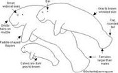 All Stages of a manatee