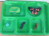 Life Cycle of the Butterfly.