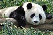 We also have Giant Pandas!