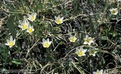 Snowdon Lily
