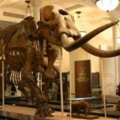 Mastodon - Michigan State Fossil