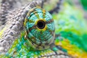 How does a chameleon adapt to survive in the jungle?