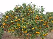 Scientific name: Citrus unshiu    Family: Rutaceae     Common names: Satsuma, Mandarin