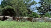 Costa Rica Cattle Ranching