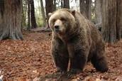 What Is A Kodiak Bears Diet?