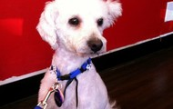 Swala -- 1 yr old, 10 lb Poodle and Bichon Mix