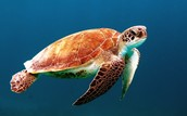 The Sea Turtle