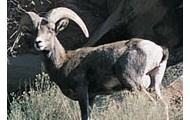 The Desert Bighorn Sheep