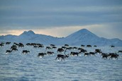 Reindeer immigrating To a New Home