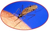 Anopheles mosquito is the only type of mosquito that can carry Malaria