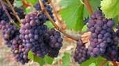 כרם ענבים