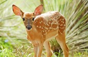 State Animal White Tailed Deer