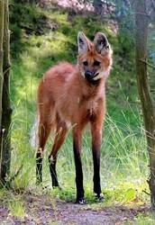 זאב הרעמה תת מין ממשפחת הכלבים