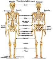 What is the function of the Skeletal system?